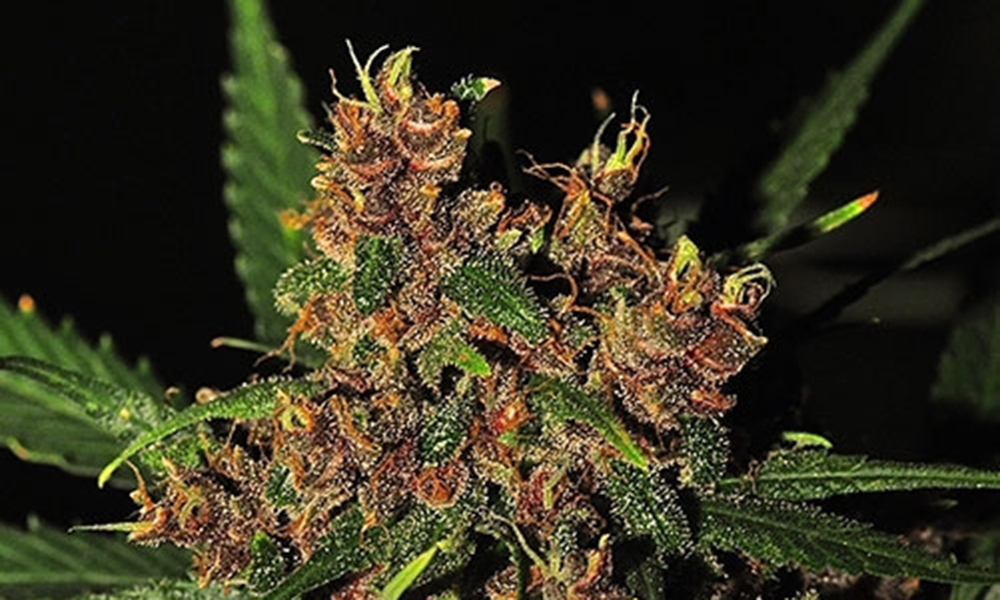 summer strains red congo